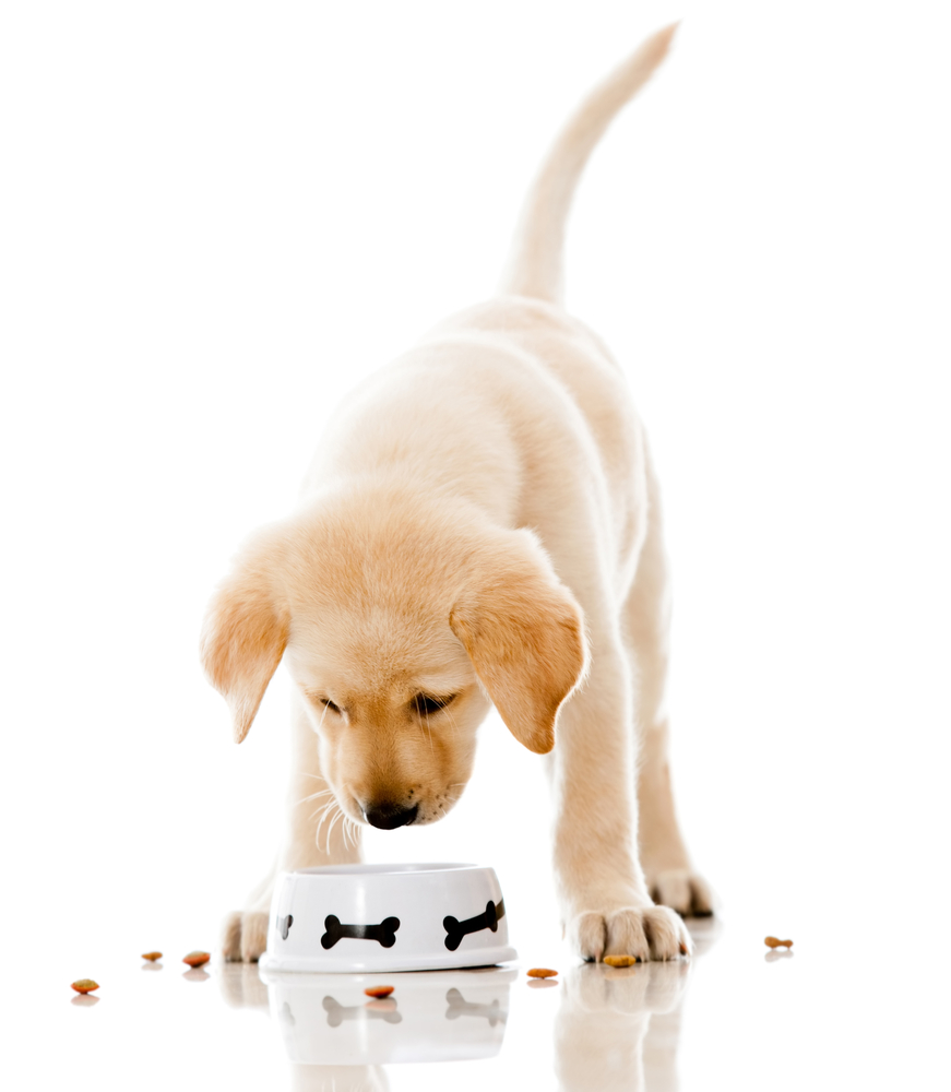 Cute puppy eating dog food - isolated over a white background-1